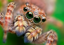 Opo_Terser_-_Sitticus_fasciger_Jumping_Spider_(by)